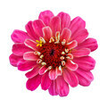 Beautiful pink flower zinnia isolated. - PhotoDune Item for Sale