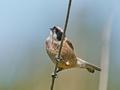 Eurasian penduline tit (Remiz pendulinus) - PhotoDune Item for Sale
