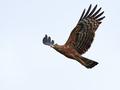 African harrier-hawk (Polyboroides typus) - PhotoDune Item for Sale