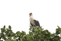 Palm-nut vulture (Gypohierax angolensis) - PhotoDune Item for Sale
