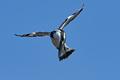 Pied kingfisher (Ceryle rudis) - PhotoDune Item for Sale