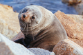 Seal in Narooma Inlet Australia - PhotoDune Item for Sale