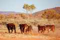 Grazing Cows in the Australian Outback - PhotoDune Item for Sale