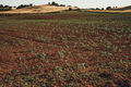Sunflower sprouts in a crop field - PhotoDune Item for Sale