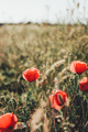 Red poppies in a field in summer - PhotoDune Item for Sale
