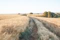 Golden fields of cereal in Spain - PhotoDune Item for Sale