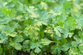 Parsley after rain in garden - PhotoDune Item for Sale