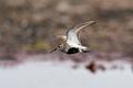 Dunlin (Calidris alpina) - PhotoDune Item for Sale
