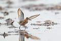 Curlew sandpiper (Calidris ferruginea) - PhotoDune Item for Sale