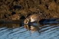 Little ringed plover (Charadrius dubius) Juvenile - PhotoDune Item for Sale