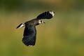 Northern lapwing (Vanellus vanellus) - PhotoDune Item for Sale