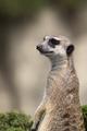 Meerkat a portrait - PhotoDune Item for Sale
