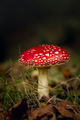 Amanita mushroom - PhotoDune Item for Sale