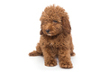 Puppy poodle chocolate color - PhotoDune Item for Sale