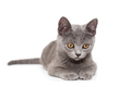 Beautiful Russian blue  kitten - PhotoDune Item for Sale
