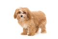 Little puppy maltipoo - PhotoDune Item for Sale
