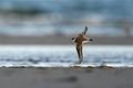 Common ringed plover (Charadrius hiaticula) - PhotoDune Item for Sale