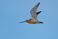 Bar-tailed godwit (Limosa lapponica) - PhotoDune Item for Sale