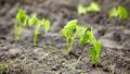 Newly planted bean seedlings. - PhotoDune Item for Sale