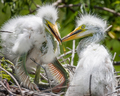 Great Egret Chicks - PhotoDune Item for Sale
