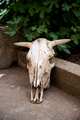 Close up of an old cow skull. - PhotoDune Item for Sale