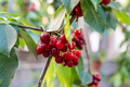 Red and sweet cherries on a branch - PhotoDune Item for Sale