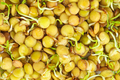 Sprouted green lentils seeds - PhotoDune Item for Sale