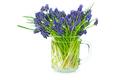 Muscari flowers isolated on white background - PhotoDune Item for Sale