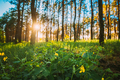 Sunset In Green Spring Forest. Green Plant Ranunculus Acris With Yellow Flowers On Background Tall - PhotoDune Item for Sale
