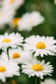 Blooming Wild Flowers Matricaria Chamomilla Or Matricaria Recutita Or Chamomile. Commonly Known As - PhotoDune Item for Sale