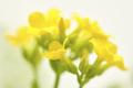 Yellow Kalancoe Flower Cluster - PhotoDune Item for Sale