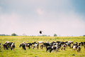 Northern Lapwing Or Peewit Flying Above Grazing Cattle In Field In Summer Day - PhotoDune Item for Sale