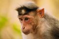 Goa, India. Bonnet Macaque Monkey - Macaca Radiata Or Zati. Close Up Portrait - PhotoDune Item for Sale
