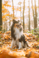 Tricolor Rough Collie, Funny Scottish Collie, Long-haired Collie, English Collie, Lassie Dog - PhotoDune Item for Sale