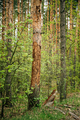 Old Pine Bark Fell Off From Damage To Tree Trunk By Insects - Ants - PhotoDune Item for Sale