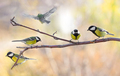 Several Great tit on a branch on a blurred background. - PhotoDune Item for Sale