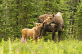 Moose Calf Touches His Nose to the Mouth of his Mother Cow - PhotoDune Item for Sale