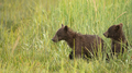 Grizzly Bear Cubs Rush to See where Mom went after getting Seperated - PhotoDune Item for Sale