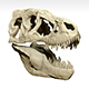 Tarbosaurus Skull Sculpt Project - 3DOcean Item for Sale