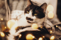 Cute cat resting in christmas festive lights bokeh on grey blanket at home - PhotoDune Item for Sale