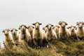 Sheeps in mountains - PhotoDune Item for Sale