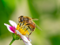 Bee pollinating on a flower blossom - PhotoDune Item for Sale