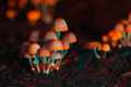 Orange psilocybin mushrooms - PhotoDune Item for Sale