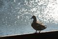 duck silhouette - PhotoDune Item for Sale
