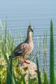 female mallard duck - PhotoDune Item for Sale
