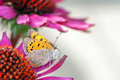 Common copper butterfly collecting nectar on a flower - PhotoDune Item for Sale