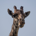 Beautiful Giraffe Stands Tall On Blue Sky Background. - PhotoDune Item for Sale