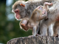 Portrait Of A Japanese Macaque Snow Monkey. - PhotoDune Item for Sale