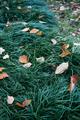 golden orange, red, autumn leaves on green grass lawn of yard, backyard, park, garden - PhotoDune Item for Sale