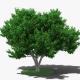 Fig Tree - 3DOcean Item for Sale